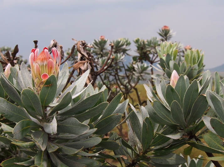 Protea Flowers in the Drakensberg Mountains