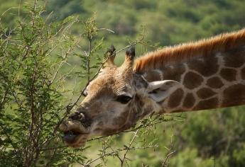 giraffe-eating-pilanesberg-game-reserve-south-africa