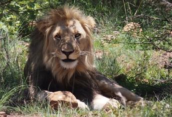lion-pilanesberg-game-reserve-south-africa-2